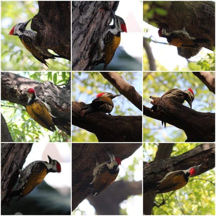 Woodpecker_Collage_Fotor
